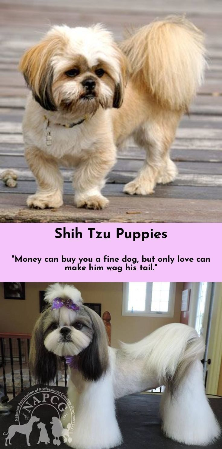 Read More About Shih Tzu Shihtzu Click The Link To Get More
