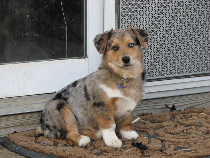 A Augi  corgi/australian shepherd mix...my next dog