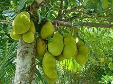 Jackfruit - Wikipedia, the free encyclopedia Grow up to 80 lbs.