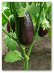 Aubergine: truc mettre dans pots noir=recolte de 7-8 fruits par plant