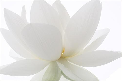 white #lotus flower