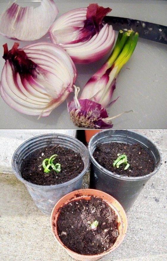 17 mejores ideas sobre cultivo de cebollas en pinterest - Semillas de frutas y verduras ...