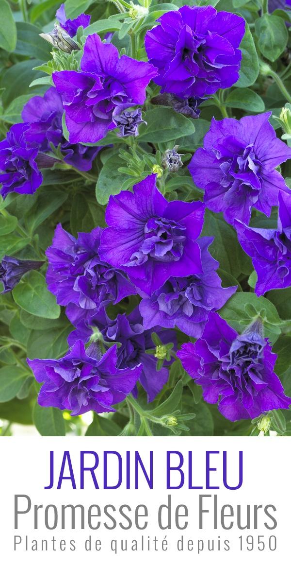#Pétunia #surfinia double #bleu foncé Le Pétunia Surfinia blue star a une belle couleur bleu violet très foncée. Il forme une véritable cascade de grandes fleurs doubles de juin à octobre.