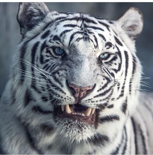 Lluava's dual form was the white tigress. http://www.katharinewibellbooks.com/