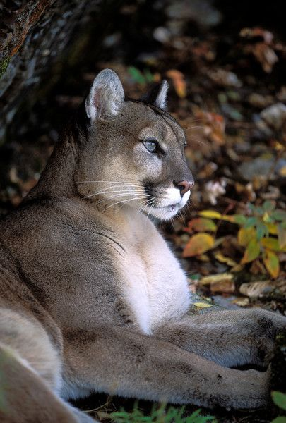 Mountain Lion.  I never want to meet one in real life, but man, they're gorgeous animals!