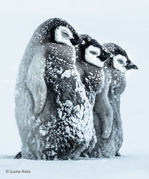 The young emperor penguins are standing side by side to combat the strength of the blizzards in the Antarctic. This is a picture of Gunther Riehle, a German photographer. - http://ahaimages.com/