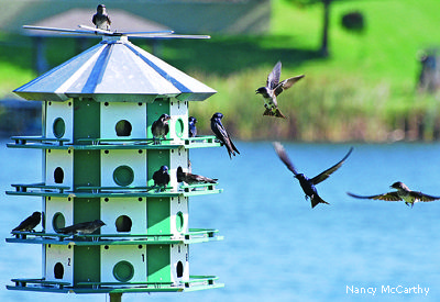 Purple martins need nest boxes now more than ever, learn how to help!