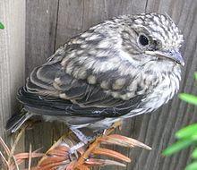 Gobemouche gris — Wikipédia