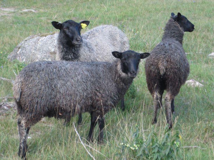 Lammen har inget med namnet Fårö att göra men har en stor del i upplevelsen av Fårö! #upplevfåröunderoktobrr #fårö