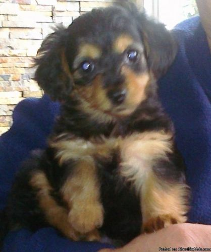 Small Dogs for Sale | Small Dogs-Dorkie's For Sale(yorkie/mini dachshund mix) - Price: 250 ...