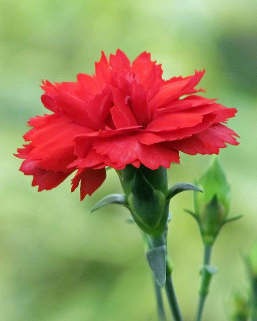 Red Carnation (Dianthus Caryophyllus) - My heart breaks