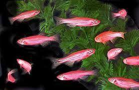 Peixes Ornamentais: Paulistinha Rosa e outras pigmentações - Então estes são paulistinhas geneticamente modificados contêm genes de um coral, que produz uma proteína fluorescente vermelha para dar o peixe um tom de rosa brilhante e faz com que fique fluoresce sob luz noturna.