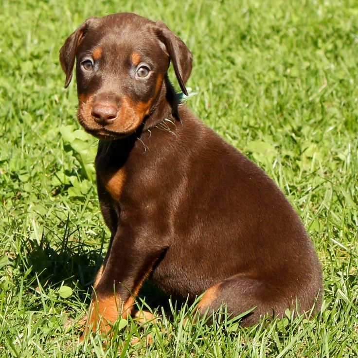 Brown Doberman Pinscher Pup | Large Breed Dogs | Pinterest