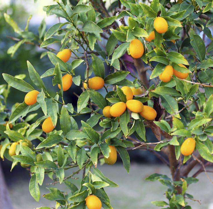 Nagami Kumquat At Backyard Fruit
