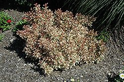 Click to view full-size photo of My Monet Weigela (Weigela florida 'Verwig') at Dundee Nursery