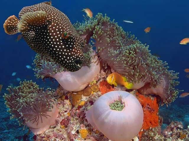 A Vida Nas Águas do Mar Vermelho- baiacu num jardim de anêmonas do mar.