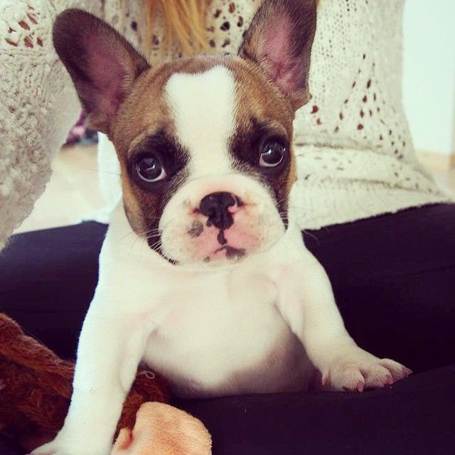 Fawn Pied Frenchie, French Bulldog Puppy