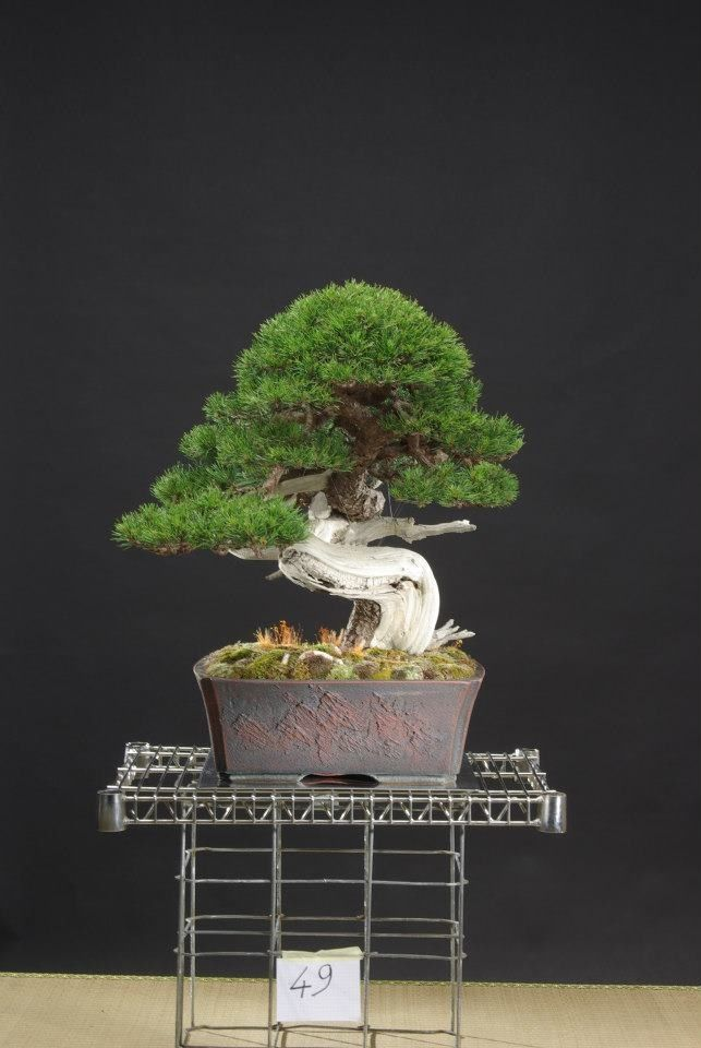 How to care for your Ficus Bonsai