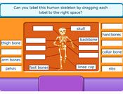 154 best images about skeletal system on pinterest | activities, Skeleton