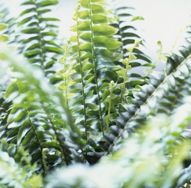Top 10 Air-Purifying Plants for Your Home: Boston Fern Removes: * Most pollutants, especially formaldehyde. Benefits: * Beautiful and lush, a favorite for any home or office. * It does require attention in order to thrive.