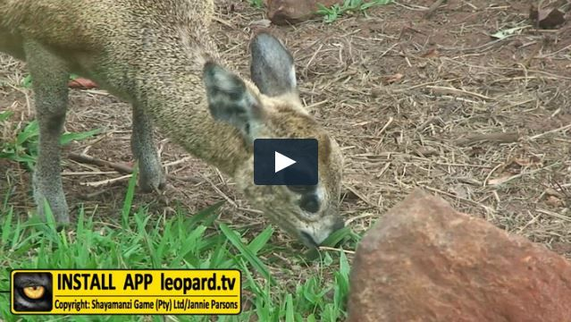 Have you ever wondered what those black spots under the klipspringer's eyes are? Here is your chance! #science #leopardtv #wildlife
