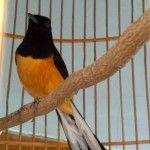 Murai Batu, Koleksi Favorit Penggemar Burung Berkicau