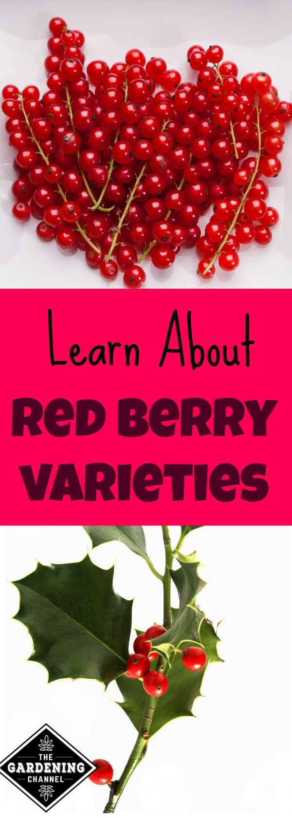 Learn all the types of red berries, which are packed with health benefits.  Do you want to know what kind of berry is in your garden?