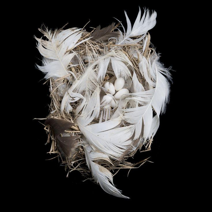 nest of a Tree swallow (Tachycineta bicolor). Collected from Tatoosh Island, Callam County, Washington - photography by Sharon Beals