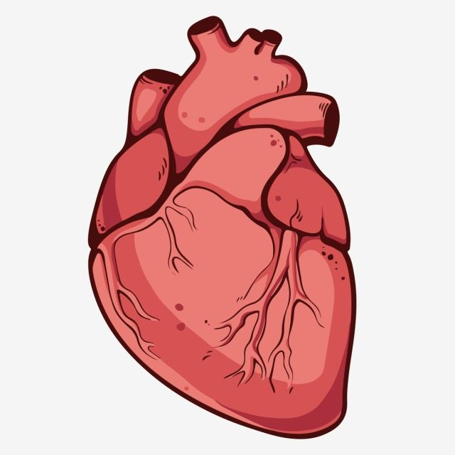 Millions Of Png Images Backgrounds And Vectors For Free Download Pngtree Heart Drawing Human Drawing Anatomical Heart Drawing