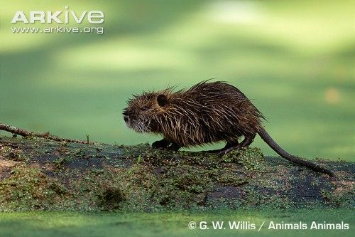 Myocastor coypus - Ragondin / Coypu, Nutria (Myocastoridae)