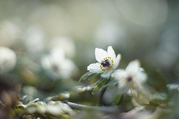セツブンソウ 白 植物 儚い 淡い 命 自然 ガーデン 白い花 小さい 一瞬 か弱い ライティング 朝日 白い花 ピンク 花 乃木坂 妄想