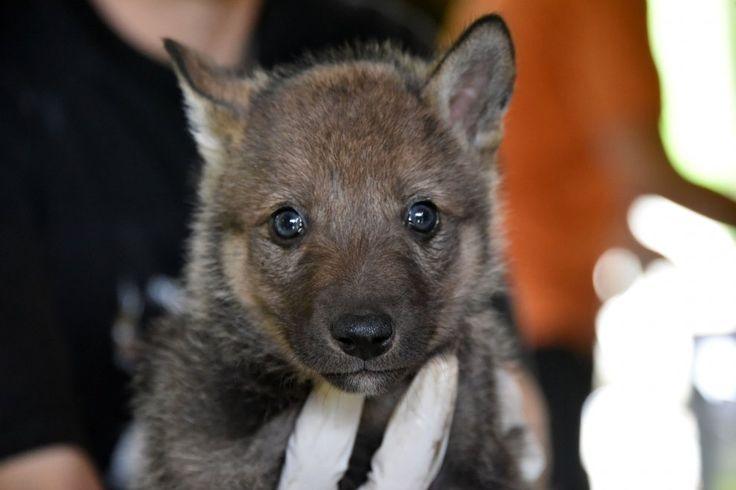 cuccioli di lupo nel cuneese