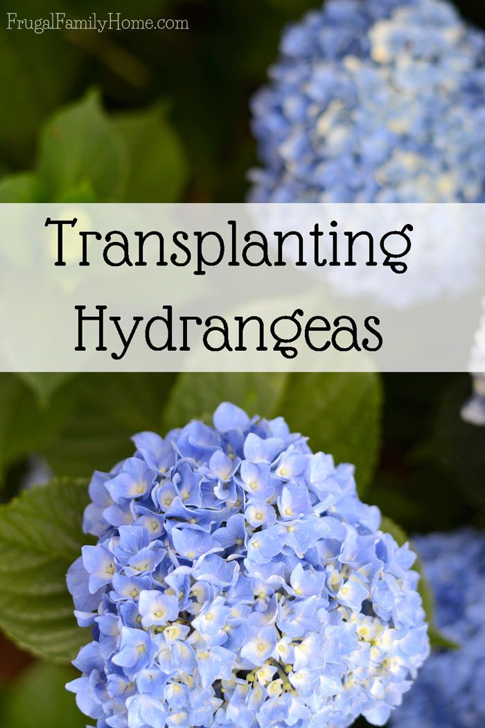 Transplanting Hydrangea, How One Grew into Three