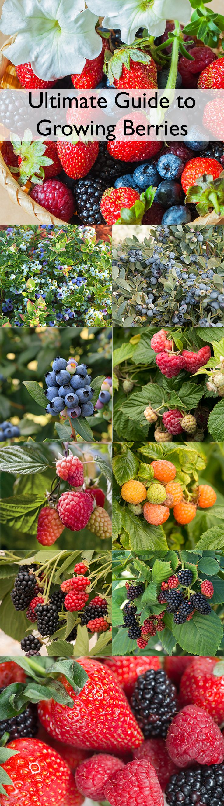 There has never been a better time to add perfectly-ripe, plump, tasty homegrown berries to your garden. New, more compact-sized plants and improved varieties have made growing berries even easier and more rewarding. We grow our berries in a special soil mix crafted especially for edibles, so your plants will flower and fruit more in their first year in your garden.