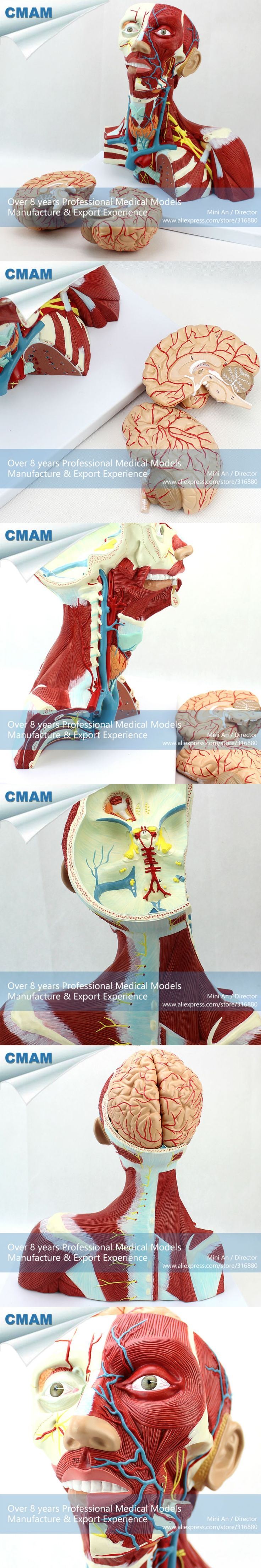 CMAM-MUSCLE16 Medical Education Anatomical Neck Muscle Anatomy Model
