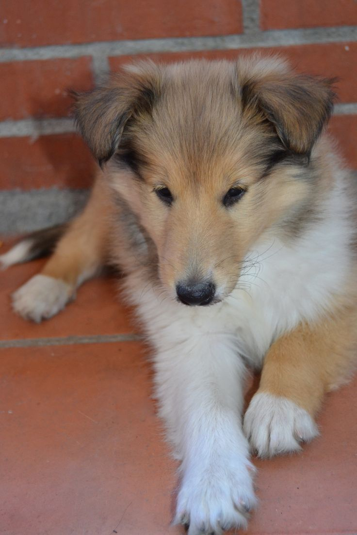 Cute rough collie puppy almost 2 months old