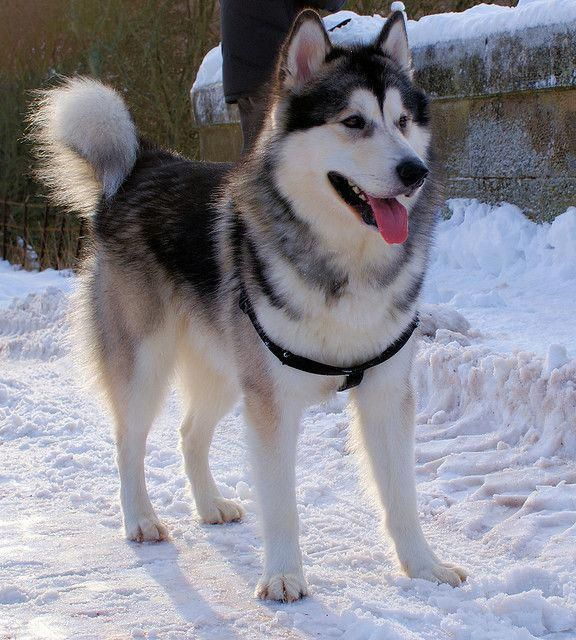 More About Intelligent Siberian Huskies Puppies