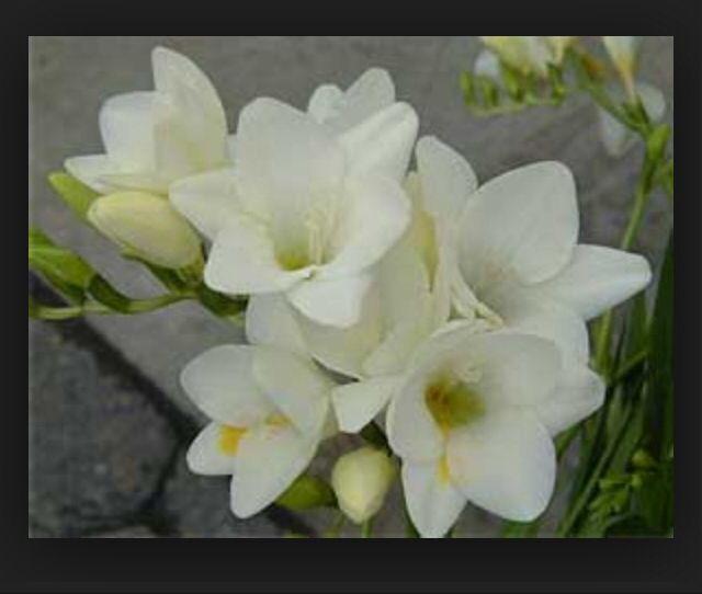 En hvit og fin fresia som er enkel blomst