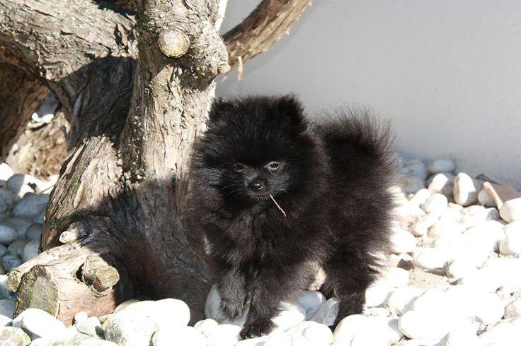 4 months Black Pomeranian puppy - Black German Spitz - Kleinspitz ...In the Winter sun...