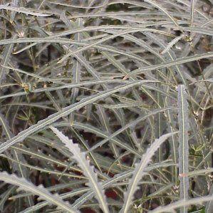 Schefflera elegantissima nombre popular tipolog a for Arbustos de interior