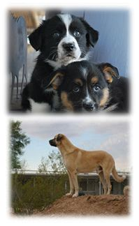 Welcome to Montaire Kennels!  Breeders of beautiful Anatolian Shepherds and Cardigan Welsh Corgis