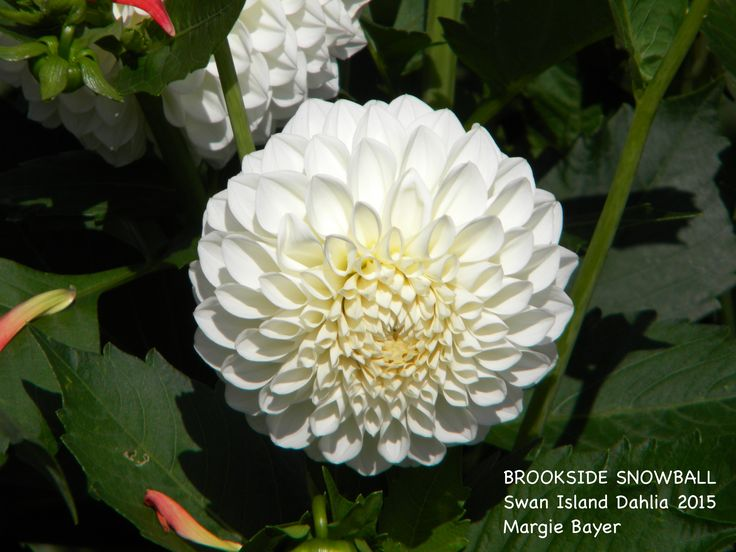 BROOKSIDE SNOWBALL dahlia 2015 (With images) Dahlia