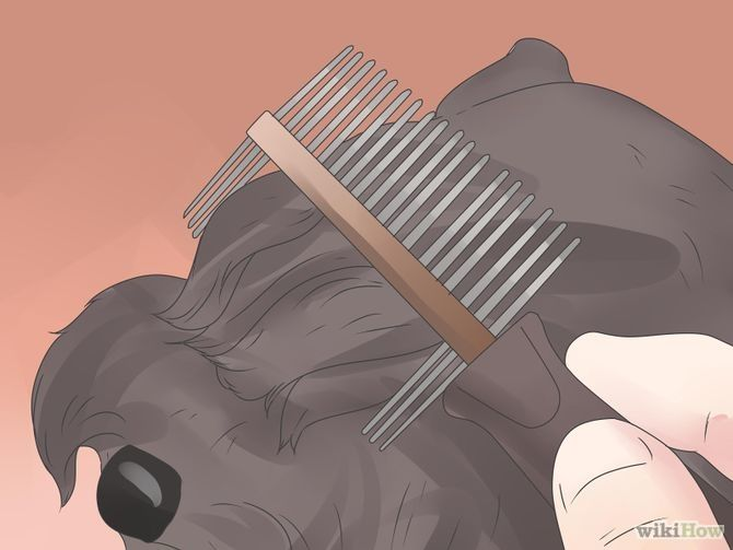 Groom a Miniature Schnauzer Step 10