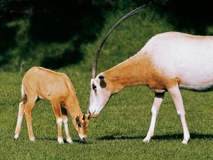 Twenty year old scimitar-horned oryx sperm is being used on a female scimitar-horned oryx in an attempt to artificially inseminate her at Orana Wildlife Park today. Canadian sperm was last used in the early 1990's when Orana was the first institution in the world to breed scimitar-horned oryx by artificial insemination.  Orana's Zoological Manager, Rob Hall says they are using artificial insemination because scimitar-horned oryx are a high value conservation species who are extinct in the…