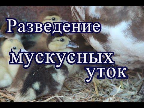 Разведение мускусных уток.(01.07.2016 г.) - YouTube