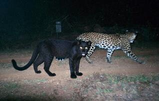 The melanistic leopard with his cousin....   Incredible ...