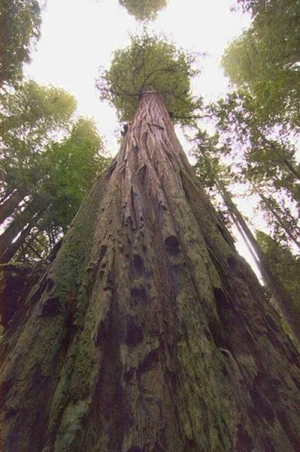 El árbol más alto del mundo en la actualidad es una secuoya del Redwood National Park en California, EEUU. Su nombre es Hyperion y mide 115,54 metros (aproximadamente la altura de las Torres Kio de Madrid).  Se descubrió en 2006 y su ubicación exacta no ha sido revelada para evitar las visitas y su deterioro. Su edad también impresiona, entre 700 y 800 años.
