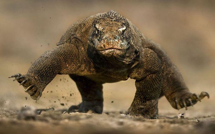 ~~Wildlife photographer Brian Matthews's photo of a fearsome Komodo dragon seeming to balance on two feet~~