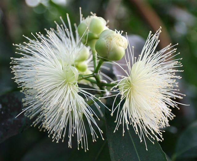 Unser Wochenendtipp: Im Tropenhaus sind derzeit die sehr filigranen Blüten vom Rosenapfel (Syzygium jambos) zu finden. Die Blüten dieser zu den Myrtengewächsen gehörenden Pflanze beeindrucken vor allem durch die sehr zahlreichen und langen Staubblätter. Leider halten die Blüten nur wenige Tage, jedoch bilden sich auch im Gewächshaus anschliessend die essbaren Früchte. Der Rosenapfel hat seine Heimat in Südost-China. #Syzygiumjambos