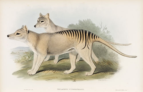 Thylacine, 1845–63, 